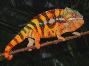 Sambava Panther Chameleon (Patchan Bloodline)