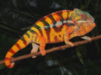 Sambava Panther Chameleon Patchan Bloodline for sales at FL Chams