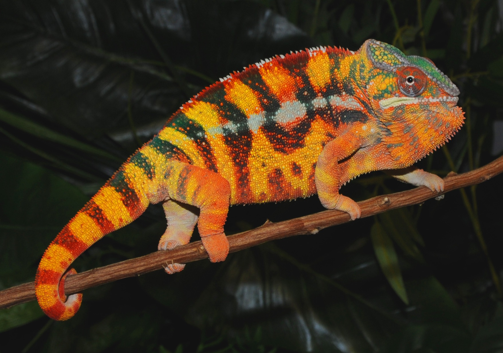Carpet Chameleon Information - Carpet Vidalondon