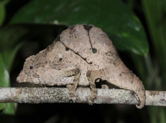 Temporalis Pygmy Chameleon Male for Sale at FL Chams
