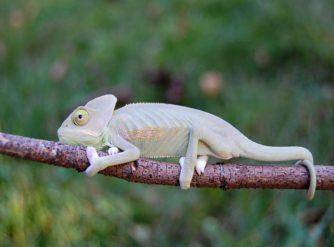 Translucent Veiled Chameleon Image, Veiled Chameleons for sale, buy veiled chameleons, veiled chameleon breeders