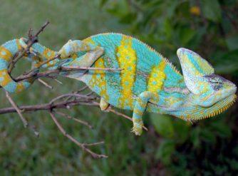 adult veiled chameleon image, veiled chameleons for sale, buy veiled chameleons