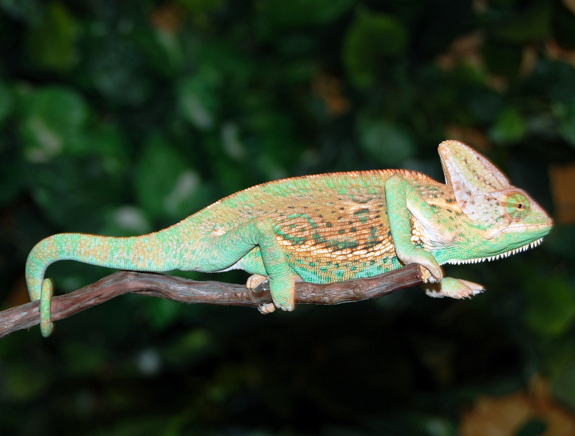 Chameleons for Sale. What do I feed my Chameleon? The staple of their diet should be crickets. They will also eat meal worms, super worms, wax worms, cock roaches, and pinkie mice.
