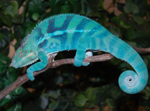 ambanja panther chameleon breeder, ambanja panther chameleons for sale, buy ambanja panther chameleons