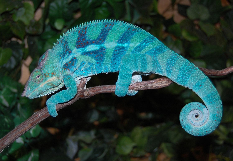 chameleons panther sale