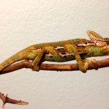 veiled chameleons for sale, buy veiled chameleon, veiled chameleon breeders