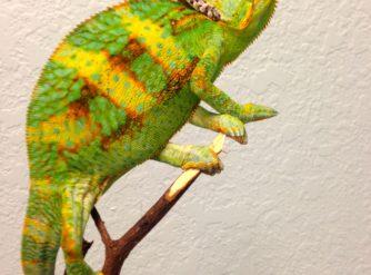 veiled chameleons for sale, buy veiled chameleons, chameleons for sale, veiled chameleon breeders