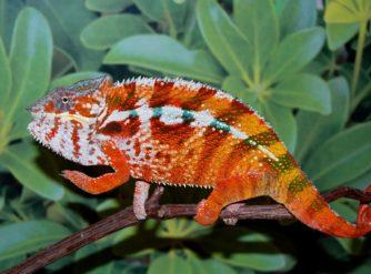 tamatave panther chameleon