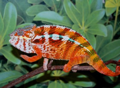 tamatave panther chameleon
