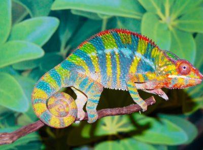 Ambilobe Panther Chameleon (Flynn Bloodline)