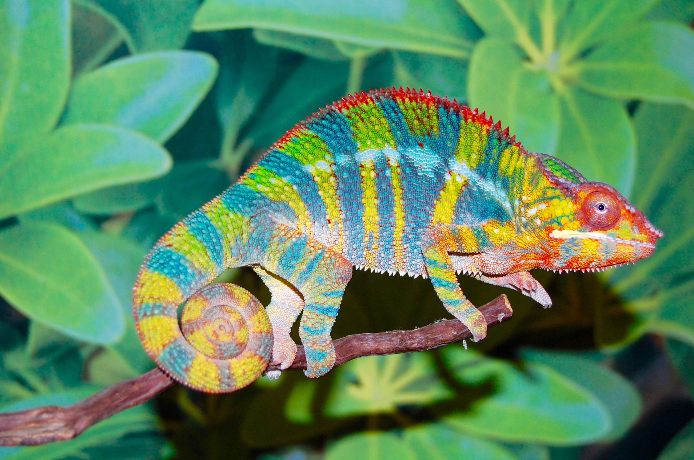 Ambilobe Panther Chameleon For Sale Flynn Bloodline Fl Chams