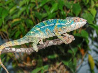 panther chameleon, panther chameleon for sale, buy panther chameleon, chameleons for sale