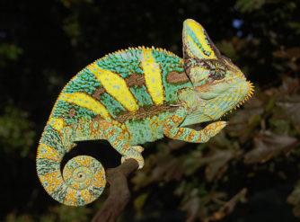 veiled chameleons for sale, buy baby veiled chameleons, veiled chameleon care, chameleons for sale
