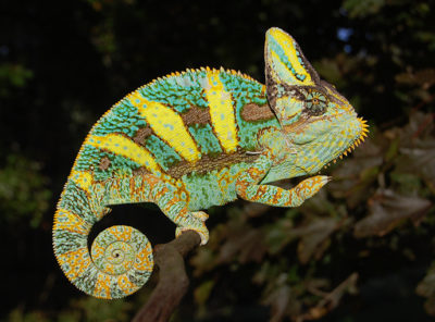 veiled chameleons for sale, buy baby veiled chameleons, veiled chameleon care, chameleons for sale