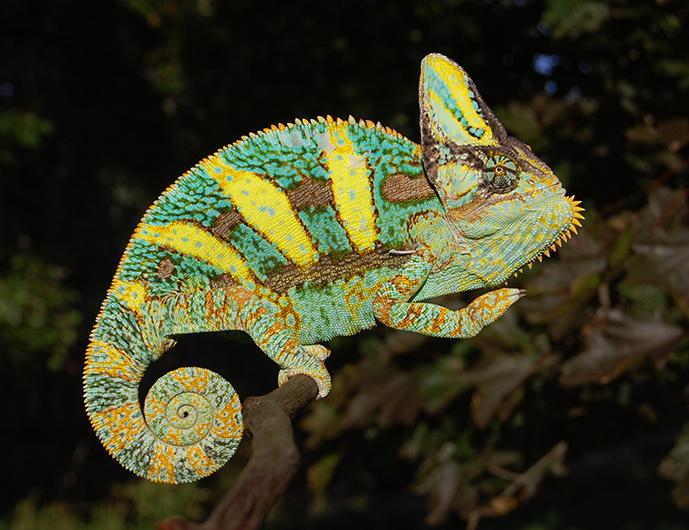Baby Veiled Chameleons For Sale From Glen Bloodline With
