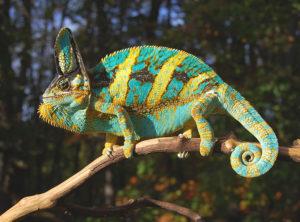 veiled chameleons for sale, buy baby veiled chameleons, chameleons for sale, veiled chameleon breeder Sam