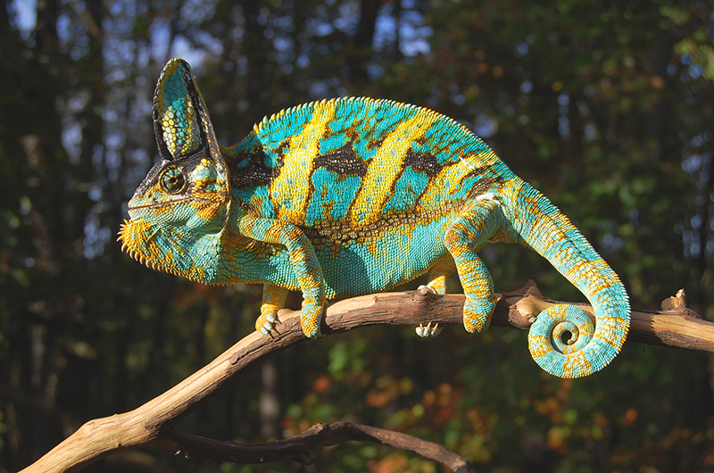 Baby Veiled Chameleons For Sale With High Yellow And Blues