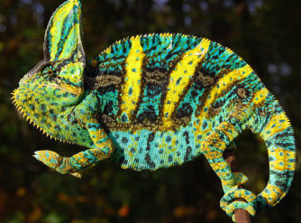 veiled chameleons for sale, buy veiled chameleons, veiled chameleon care,