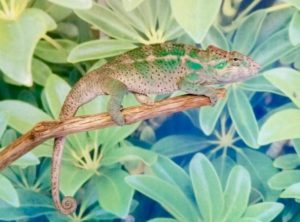 panther chameleon for sale, nosy faly panther chameleon, buy panther chameleon