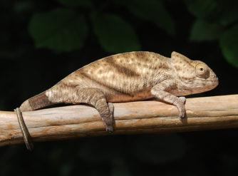 Parson's Chameleon for sale