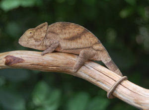parsons chameleon for sale, buy parsons chameleon, parson chameleon breeders, chameleons for sale, buy chameleons