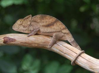 parsons chameleon for sale, buy parsons chameleon, parson chameleon breeders, chameleons for sale, buy chameleons