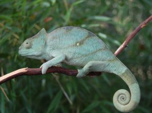 parsons chameleon for sale