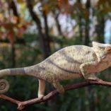 parsons chameleon for sale, buy parsons chameleon, chameleons for sale