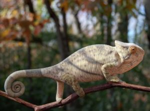 parsons chameleon for sale, buy parsons chameleon, chameleons for sale