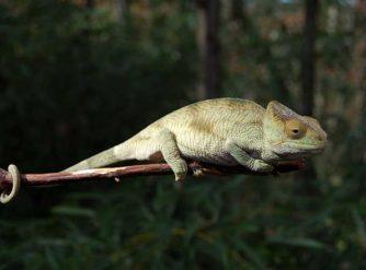Parsons Chameleon For Sale, Buy Parsons Chameleons
