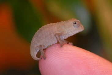 Baby Bearded Pygmy Chameleon For Sale