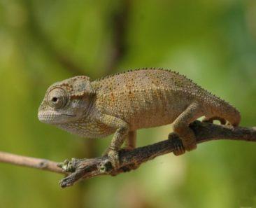 Rudis Chameleon For Sale, Rudis Chameleon Pic, Rudis Chameleon Image