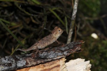 Brookesia For Sale