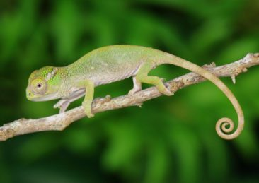 Beautiful Baby Fischers Chameleon