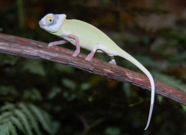 veiled chameleon for sale, veiled chameleon for sale, buy veiled chameleon, veiled chameleon breeder, veiled chameleon photo, veiled chameleon image, veiled chameleon pics. veiled chameleon habitat, veiled chameleon care, baby veiled chameleons for sale