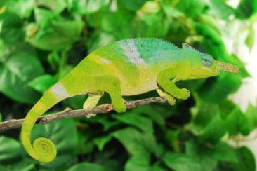 chameleon for sale, chameleons for sale, buy chameleon, chameleon breeder, chameleon photo, chameleon image, chameleon pics. chameleon habitat, chameleon care, baby chameleons for sale