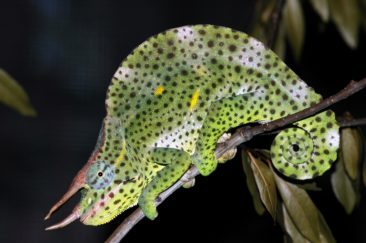 Beautiful Adult Male Deremensis Chameleon For Sale