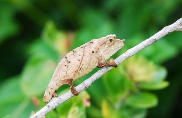 Pygmy Chameleon For Sale