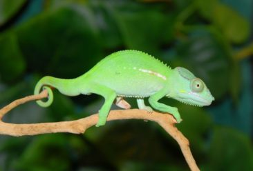 Furcifer cephalolepis, chameleon for sale, chameleons for sale, buy chameleon, chameleon breeder, chameleon photo, chameleon image, chameleon pics, chameleon habitat, chameleon care, baby chameleons for sale