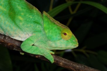 Beautiful Parsons Chameleon