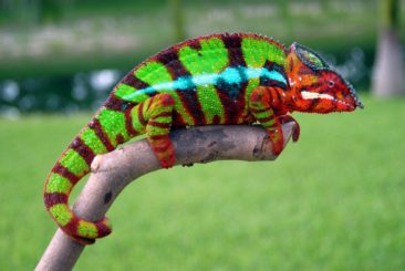 Beautiful Adult Ambilobe Panther Chameleon