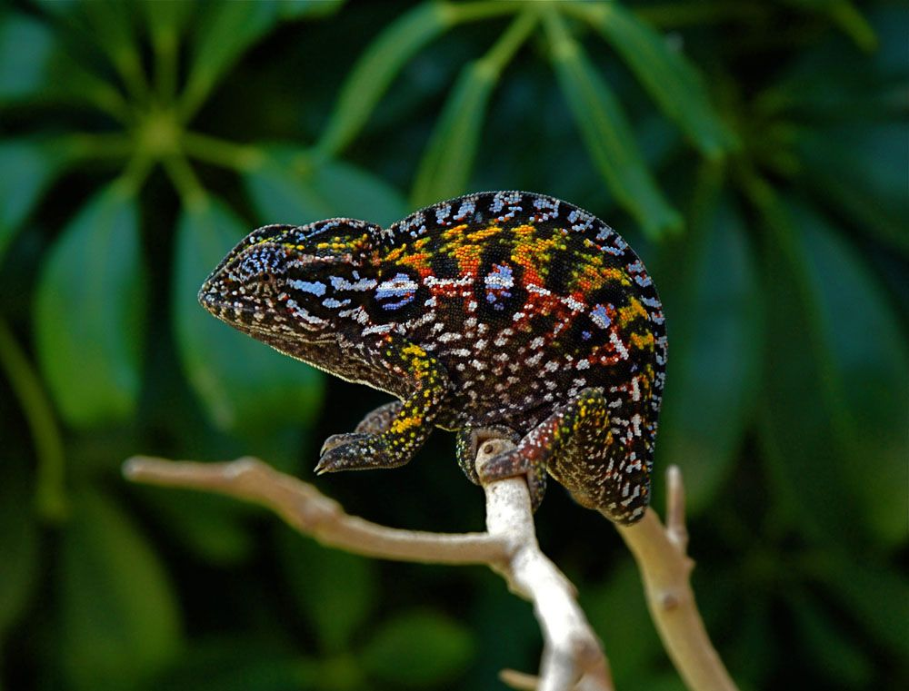 Chameleon Photos And Images Fl Chams
