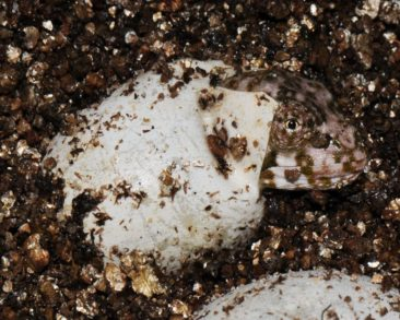 Baby Mellers Chameleon Hatching