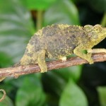 jacksons chameleon for sale, jacksons chameleon for sale, buy jacksons chameleon, jacksons chameleon breeder, jacksons chameleon photo, jacksons chameleon image, jacksonschameleon pics, jacksons chameleon habitat, jacksons chameleon care, baby jackson chameleons for sale