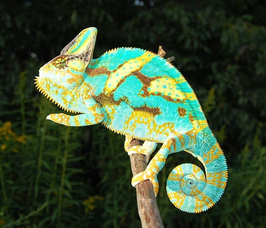 Premium High Color Baby Veiled Chameleons For Sale Online