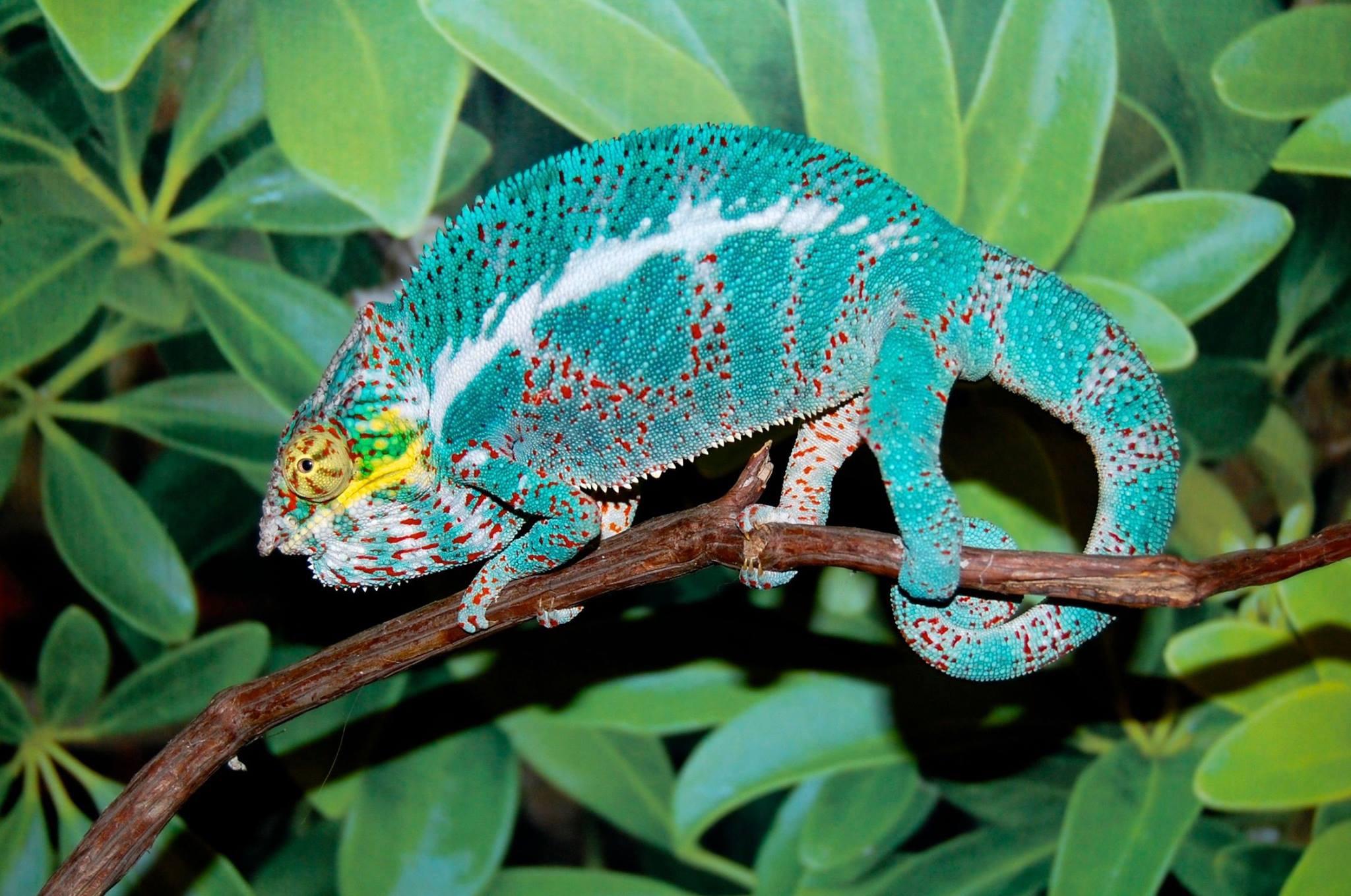 Nosy Faly Panther Chameleon Oscar Bloodline Fl Chams