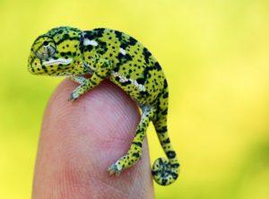 baby flap neck chameleon for sale, chameleons for sale, buy chameleon, chameleon breeder, chameleon photo, chameleon image, chameleon pics, chameleon habitat, chameleon care, baby chameleons for sale