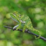 baby flap necked chameleon for sale, chameleons for sale, buy chameleon, chameleon breeder, chameleon photo, chameleon image, chameleon pics, chameleon habitat, chameleon care, baby chameleons for sale