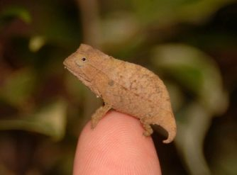 pygmy chameleon for sale, pygmy chameleons for sale, buy pygmy chameleon, pygmy chameleon breeder, pygmy chameleon photo, pygmy chameleon image, pygmy chameleon pics, pygmy chameleon habitat, pygmy chameleon care, baby pygmy chameleons for sale