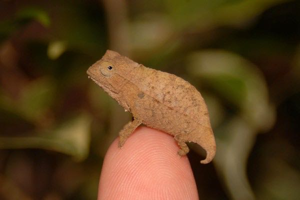 Captive Bearded Pygmy Chameleons For Sale Fl Chams Specializing In